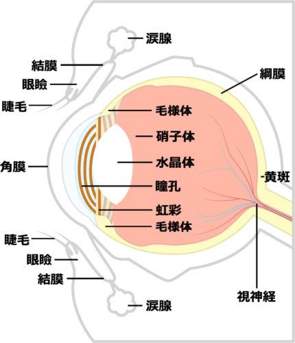 眼球内部のイラスト