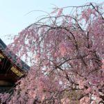 桜の花びらの、おまじない
